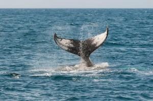 Baleine - Californie